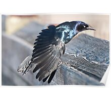 Grackle struts for his mate Poster