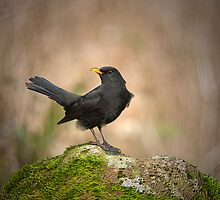 Blackbird on moss rock by M.S. Photography/Art