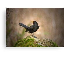 Blackbird on moss rock Canvas Print