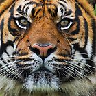 Eye Contact!!!  Puna the Sumatran tiger by Elaine123