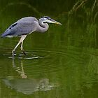 Great Blue Heron Hunting by Gerda Grice