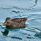 Female Mallard in Icing Water by Gerda Grice