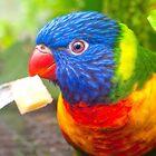 Rainbow Lorikeet by ANDREW BARKE