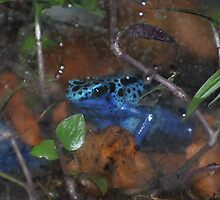 Poison Dart Frog by Dorothy Thomson