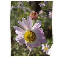 Pink Daisy and a bud Poster