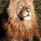 Lion in the morning Sun by John Dunbar
