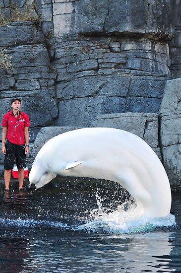 Beluga at Vancouver Aquarium by Aziz Dhamani