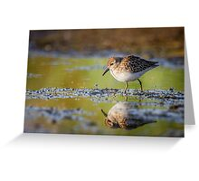 Focused -- Least Sandpiper Greeting Card