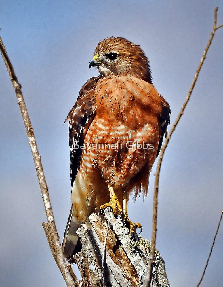 Hawk by Savannah Gibbs