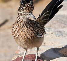 Greater Roadrunner by James Marvin Phelps