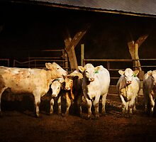 Charolais Ladies Club by KBritt