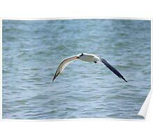 Royal Tern Poster
