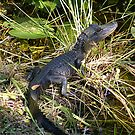 Baby Alligator - Everglades National Park by Susan Glaser