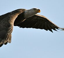 Eagle On The Hunt by Monte Morton