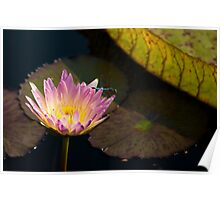 Water Lily and Dragonfly Poster