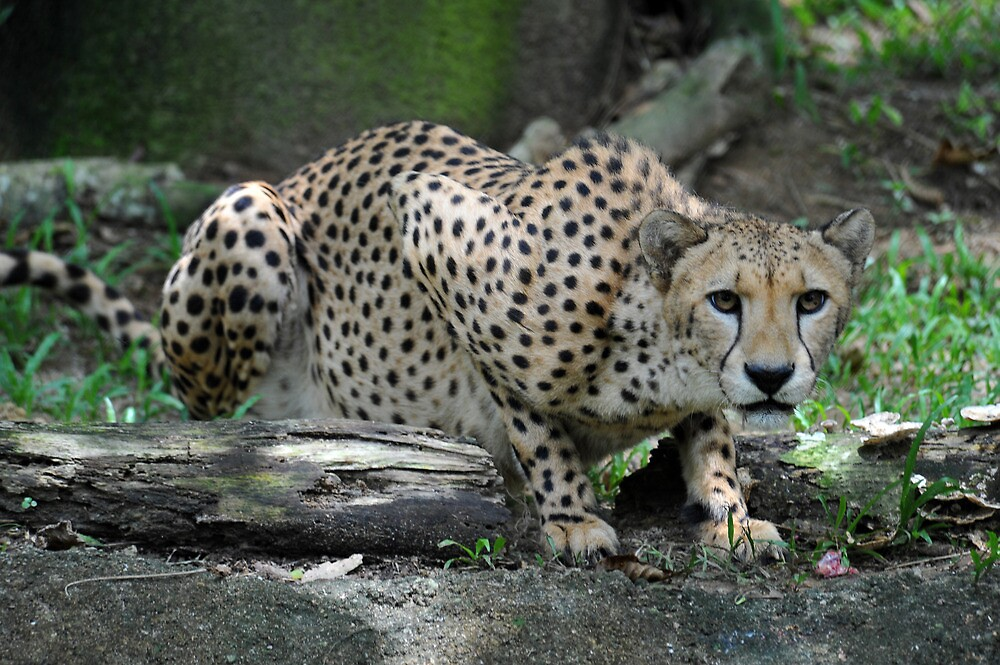 Cheetah at The Singapore Zoo. by Ralph de Zilva