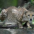 Cheetah at The Singapore Zoo. by Ralph de Zilva