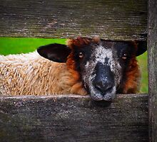 Lookin' at Ewe by Skip Hunt