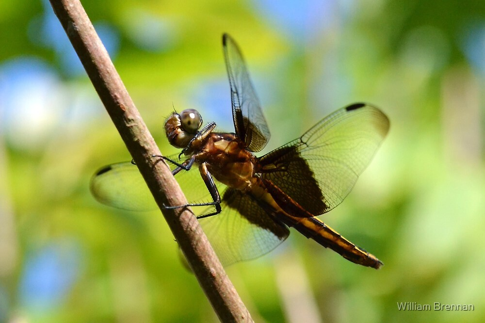 Impressive Widow Skimmer by William Brennan