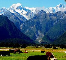 Cows grazing near mt cook. by stantheman23