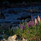 Lupines on Blue by Stan Wojtaszek