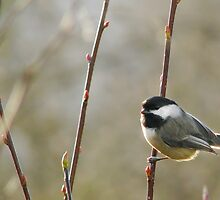 Black-capped Chickadee 1 by Tracy Friesen