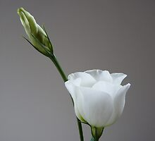 White Eustoma, Lisianthus by Anita  Fletcher