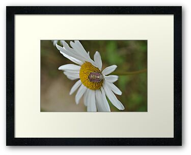 Shield Bug on a Daisy by SkinnyJoe