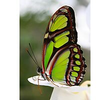 Siproeta stelenes - Malachite Butterfly Photographic Print