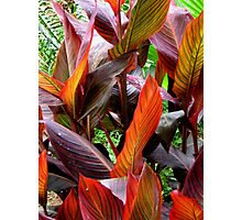 Fabulous cannas Photographic Print