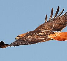 112611 Red Tailed Hawk by Marvin Collins