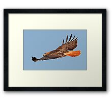 112611 Red Tailed Hawk Framed Print