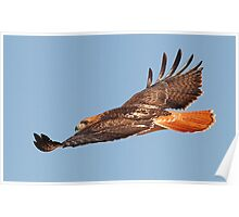 112611 Red Tailed Hawk Poster