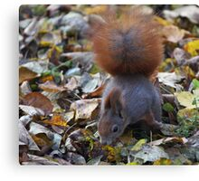 Small beautiful Squirrel. Белка. by Brown Sugar . Views (126) favorited by (2) Thx! Canvas Print