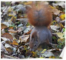 Small beautiful Squirrel. Белка. by Brown Sugar . Views (126) favorited by (2) Thx! Poster