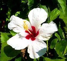 Bermuda Flower by dgscotland
