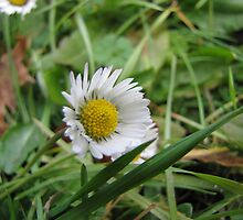 November-Daisy by orko