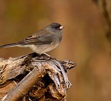 Dark-eyed Junco by Jeff Weymier