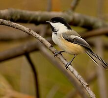 Black-capped Beauty by Jeff Weymier