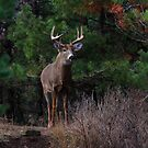 The King is Dead...Long Live the King - White-tailed Deer by Jim Cumming