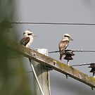 Kookaburras on power lines by STHogan