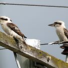Kookaburras on power lines 2 by STHogan