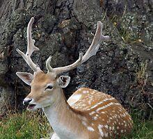 fallow deer by Penny Rumbelow