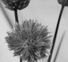 chive flowers by Penny Rumbelow