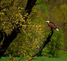 Screaming Eagle by Thomas Young