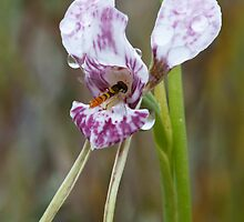 Wedge Diuris - Diuris dendrobioides and pollinator by Paul Piko