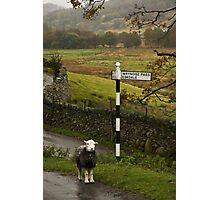 Lost Sheep, Lake District, England Photographic Print