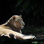 Lion at The Singapore Zoo. by Ralph de Zilva