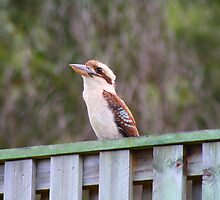 Kookaburra Stare by Keith Arends