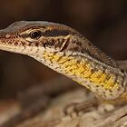 Black-spotted Ridge-tailed Monitor by Catherine Whitehead